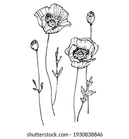 Poppy flower. Floral botanical flower. Isolated illustration element. Vector hand drawing wildflower for background, texture, wrapper pattern, frame or border.