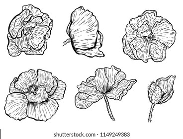Poppy flowers hand drawn. Can be used in design purpose. illustration, vector - stock.