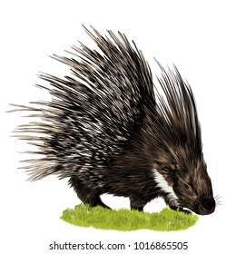 porcupine stands in the grass sketch vector graphics color picture