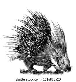 porcupine stands in the grass sketch vector graphics monochrome drawing