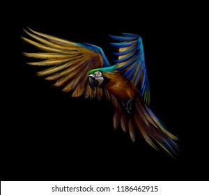 Portrait blue-and-yellow macaw in flight on a black background. Ara parrot, Tropical parrot