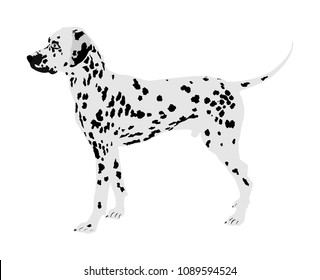 Portrait of Dalmatian dog vector illustration isolated. Beware of purebred dog. Dog show champion. Best friend. Alert, guard attention. Kids lover.
