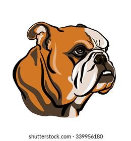 Portrait of english bulldog. Vector Illustration