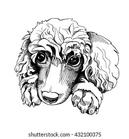 Portrait of a Poodle. Vector illustration.