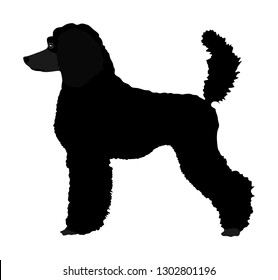 Portrait of Royal Poodle vector silhouette illustration isolated. French black poodle walking. Beware of dog. Dog show exhibition.