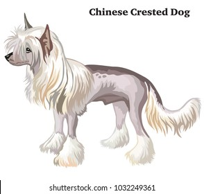 Portrait of standing in profile Chinese Crested Dog, vector colorful illustration isolated on white background
