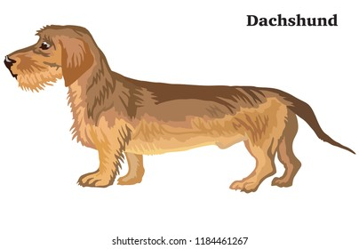 Portrait of standing in profile Dachshund (wire-haired) dog, vector colorful illustration isolated on white background