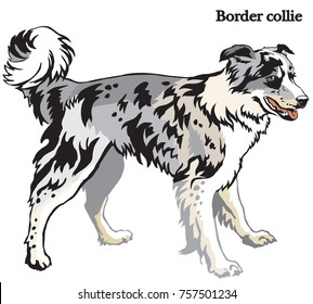 Portrait of standing in profile dog Border collie (blue merle color), vector colorful illustration isolated on white background