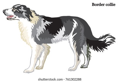 Portrait of standing in profile dog Border collie, vector colorful illustration isolated on white background