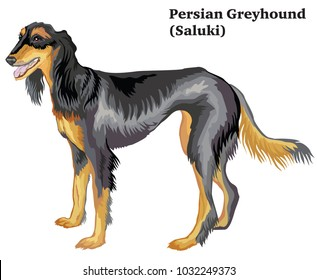 Portrait of standing in profile dog  Persian Greyhound (Saluki), vector colorful illustration isolated on white background