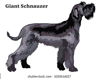 Portrait of standing in profile Giant Schnauzer, vector colorful illustration isolated on white background