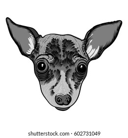 Portrait of  Toy Terrier doggy. Hand drawn dog illustration. T- shirt and tattoo concept design in black white. Vector.
