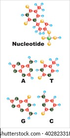 The poster depicts the structure of nucleotides in the DNA.