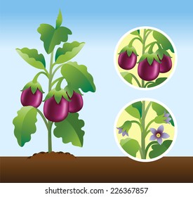 Vegetable Garden Cultivated Eggplant Brinjal Plants Stock Vector