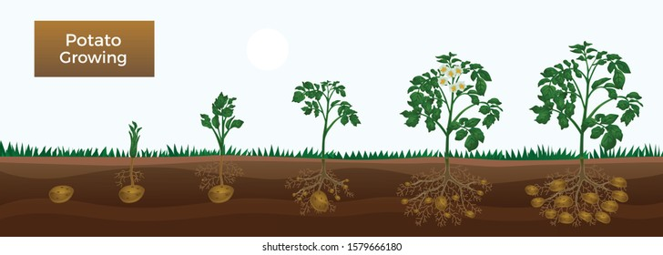 Potato growth stages horizontal educative gardening banner with planting sprout development tuber initiation bulking maturation vector illustration