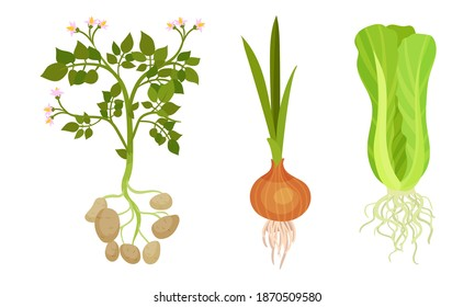 Potato and Onion as Fresh Vegetables with Rootstock and Top Leaves Vector Set