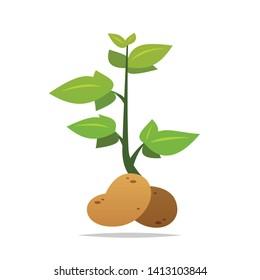 Potato plant vector isolated illustration