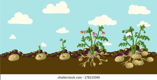 Potato plant / vintage illustration