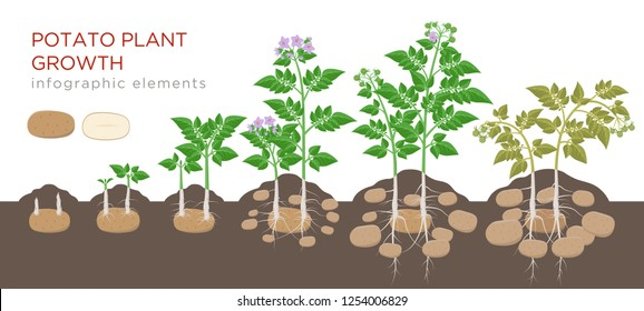 Potatoes plant growing process from seed to ripe vegetables on plants isolated on white background. Potato growth stages, planting process, plant life cycle infographic elements in flat design.