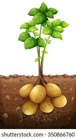 Potatoes plant under the ground illustration