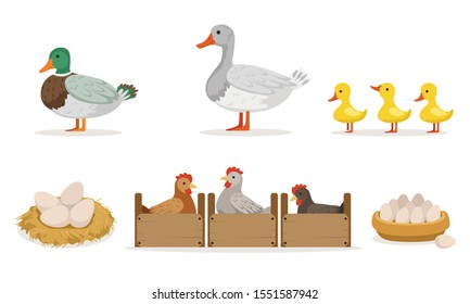 Poultry Farm With Hens, Ducks And Gooses. Eggs And Ducklings Vector Illustration Set Isolated On White Background