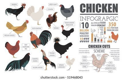 Poultry farming infographic template. Chicken breed isolated on white background. Flat design. Vector illustration