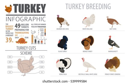 Poultry farming infographic template. Turkey breeding. Flat design. Vector illustration