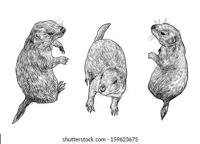 Prairie dog in three poses