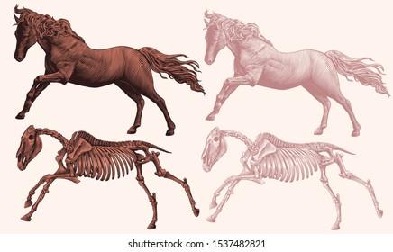 Prancing horse and horse skeleton. Design set. Hand drawn engraving. Editable vector vintage illustration. Isolated on light background. 8 EPS
