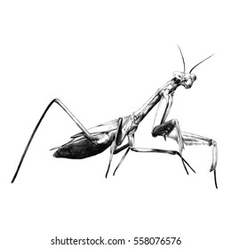 praying mantis insect vector black and white sketch