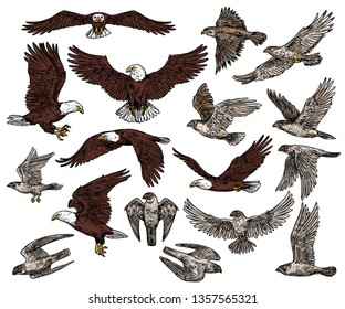 Predatory birds of prey vector sketch icons. Isolated wild predators birds bald eagle flying with spread wings, or falcon and hawk, ornithology or falconry raptor vultures, heraldic symbols