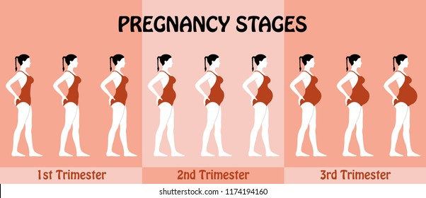 Pregnancy Trimesters of pregnant woman with swimsuit. All the objects and body stages are in different layers and the text types do not need any font.