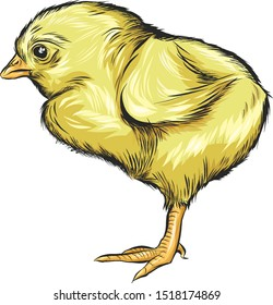 Pretty. Drawing of a little chicken. Sweet yellow chick. Side view, full length. Fluffy baby, with a beak, legs, eyes and small wings. Isolated vector.