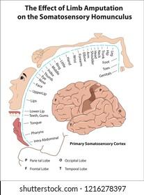 Primary Somatosensory Cortex. The Effect of Limb Amputation  on the Somatosensory Homunculus