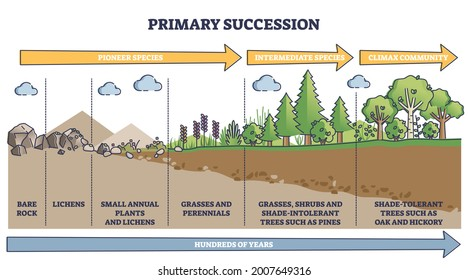 Primary succession and ecological growth process stages outline diagram. Labeled educational species progress explanation with time axis for organic matter long term formation vector illustration.