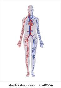 Principal veins and arteries vector