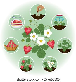 The process of growing strawberries in pictures