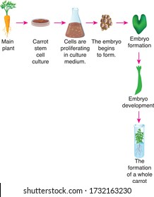Production of carrot plant with tissue culture. Science, biology - Vector