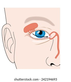 Production of tears from the lacrimal gland and flow of tears across the eye. Created in Adobe Illustrator. EPS 10.