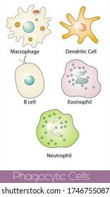 professional Phagocytic cells. list of all phagocytic cells. Macrophage, Dendritic cell, B cell, Eosinophil, Neutrophil. (Function- antigen presenting, adaptive immune system activation, engulfing )