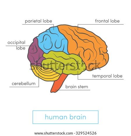 Profile View Human Brain Cartoon Vector Stock Vector ...