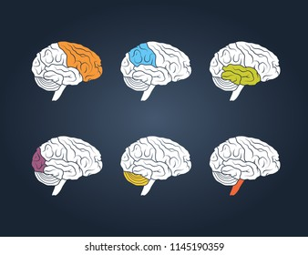 Profile view of a human brain. Lobes of the brain painted in different colors, vector illustration
