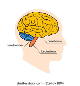 Profile view of a human brain. Parts of the human brain painted in different colors, vector illustration