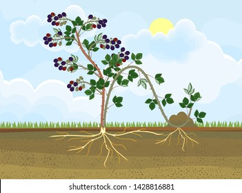 Propagation by layering. Blackberry plant vegetative reproduction scheme