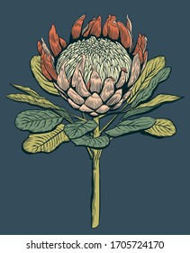 Protea cinaroides flower illustration. Vector illustration on a dark blue background. Suitable for posters, postcards, website design and interery.