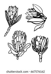 Protea set hand drawn sketch. Line. African flowers. Vector illustration