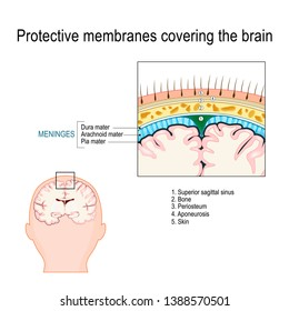 Protective membranes covering the brain. Meninges: Dura mater, Arachnoid, and Pia mater. Cross section of the human brain. Layers. Vector diagram for educational, medical, biological, scientific use