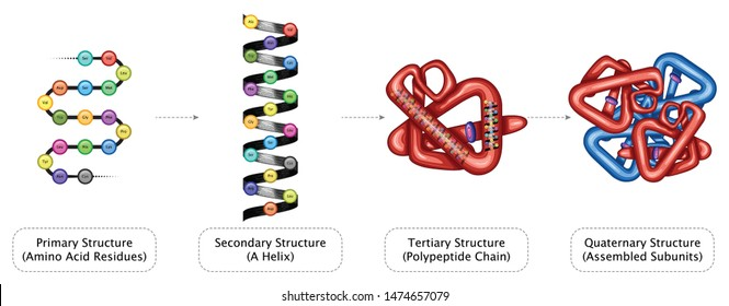 Protein Structure Primary Secondary Tertiary Quaternary Amino Acid residues Helix Polypeptide Chain Assembled Sub units Detailed Chemistry Education Color Full Vector Illustration