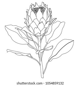 Proteus Flower.Protea Realistic Vector illustration.Protea. Hand drawn vector illustration.Tropical king protea flower in blossom