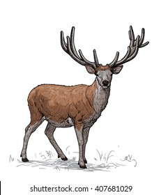Proud horned deer. Vector illustration